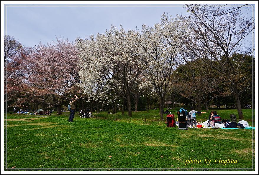 昭和公園2 Sakurahana(20).JPG