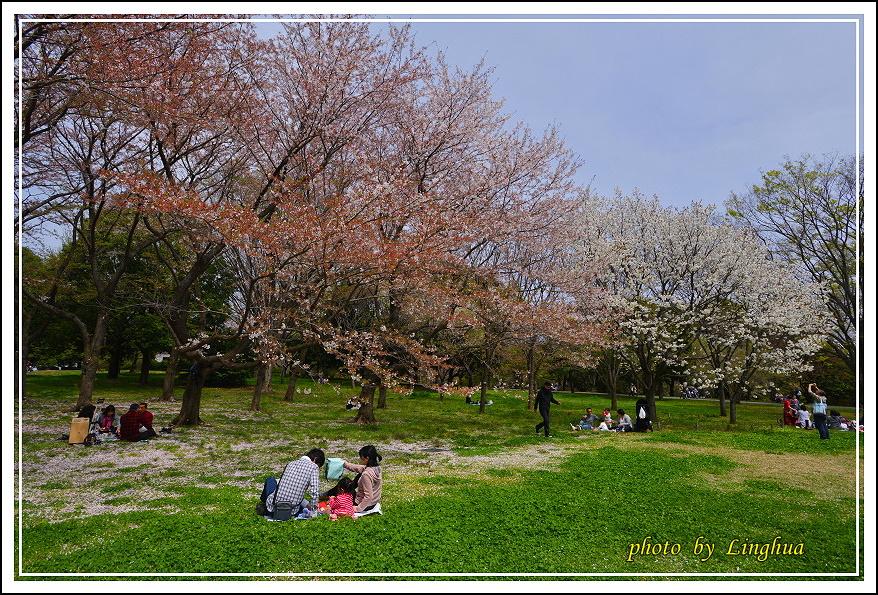 昭和公園2 Sakurahana(21).JPG