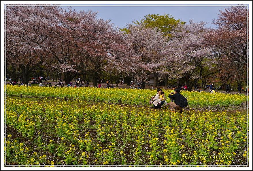 昭和公園2 Sakurahana(23).JPG