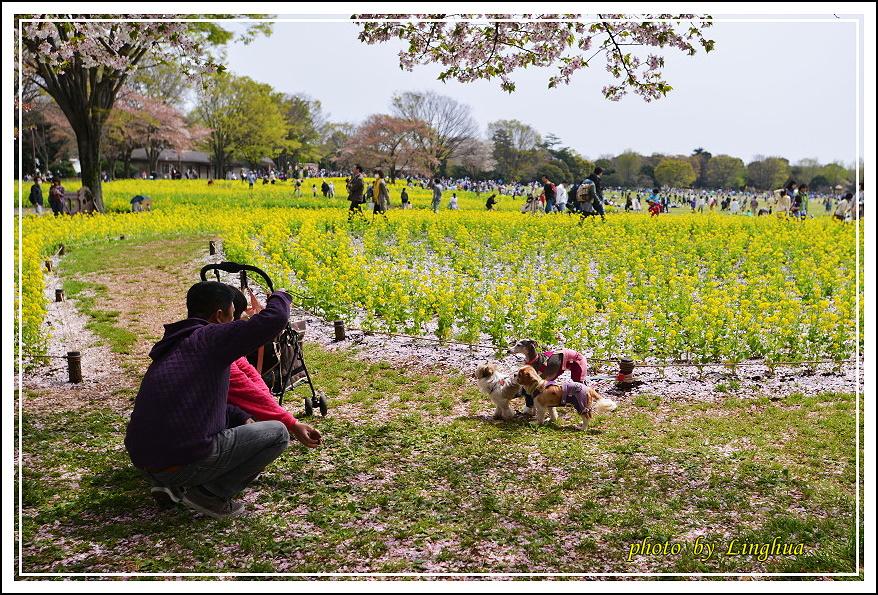 昭和公園2 Sakurahana(24).JPG