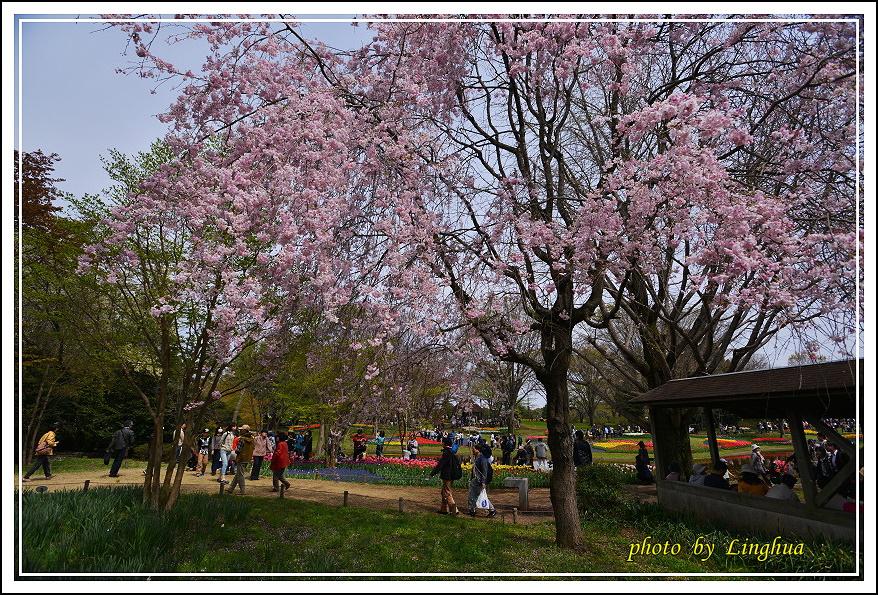 昭和公園2 Sakurahana(26).JPG
