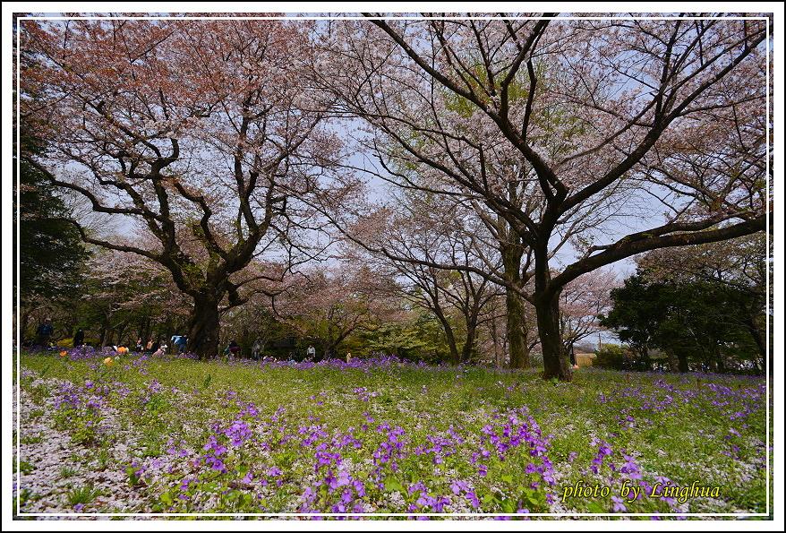 昭和公園2 Sakurahana(27).JPG