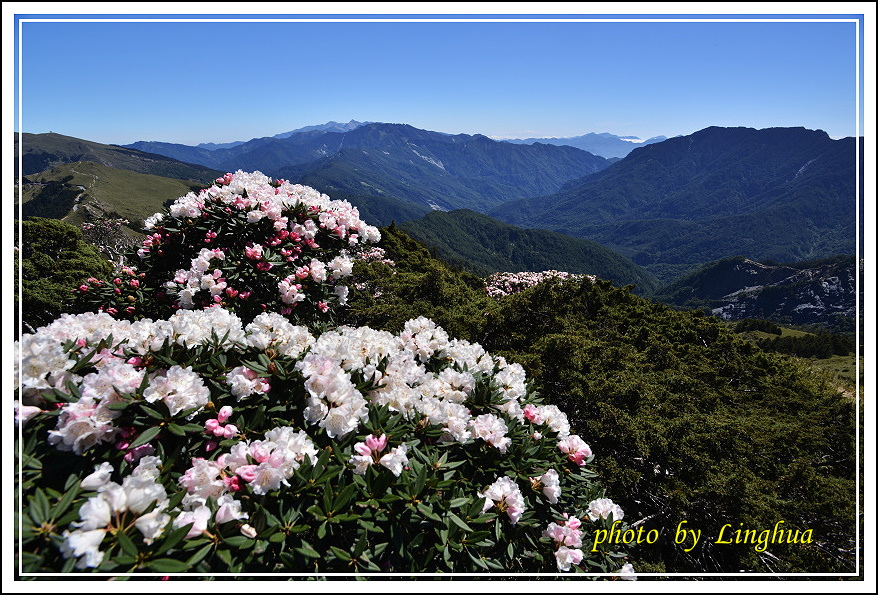 2015合歡東峰高山杜鵑(1).JPG