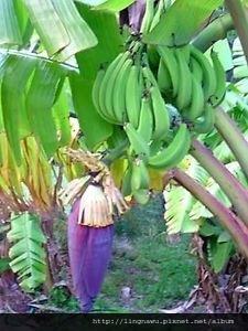 plantain花與果.jpg