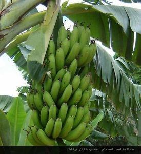 plantain植物.jpg