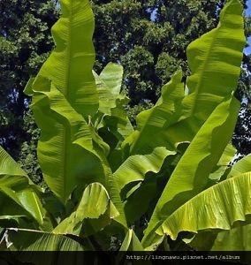 plantain葉子.jpg