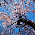 IMG_8330.JPG 枝垂櫻開花了 4月23