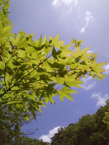 美麗的楓葉 天氣好!