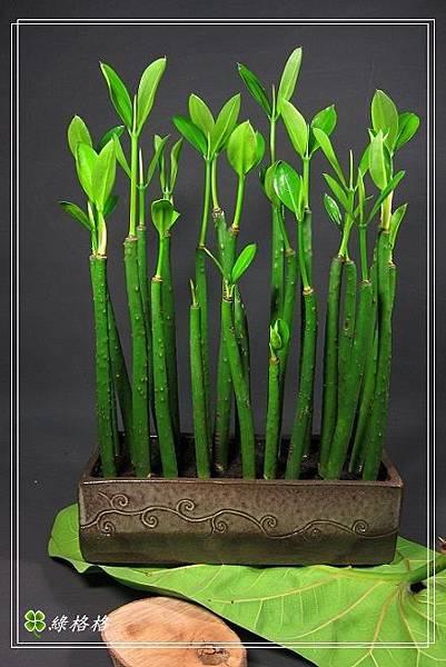 五梨跤盆栽