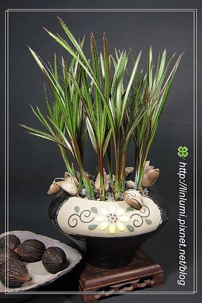 美麗的種子+盆栽~藍棕櫚!