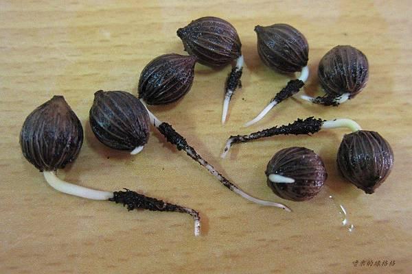 海葡萄種子盆栽!