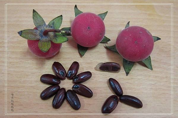 南非柿種子盆栽