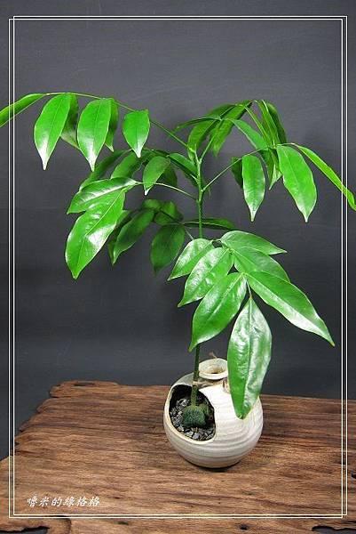 綠元寶~栗豆樹