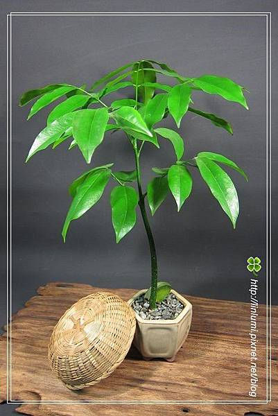 栗豆樹種子盆栽
