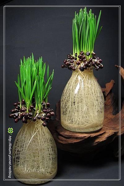 龍鱗櫚種子盆栽!