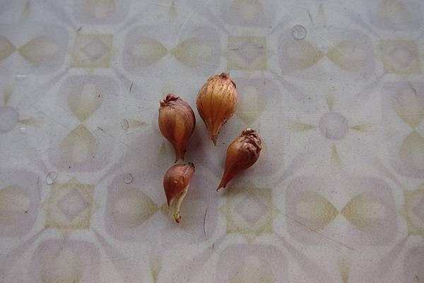 重瓣酢醬草(