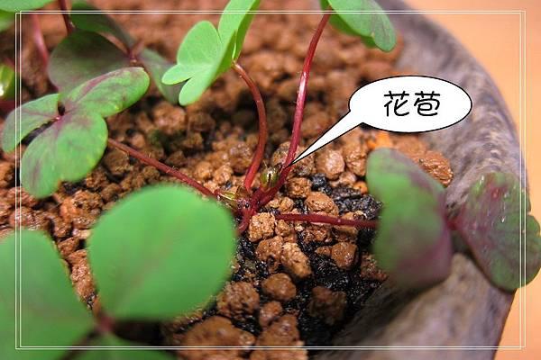 重瓣酢醬草
