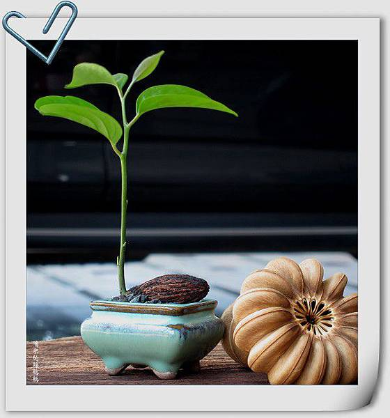 種子盆栽~柿葉茶茱萸