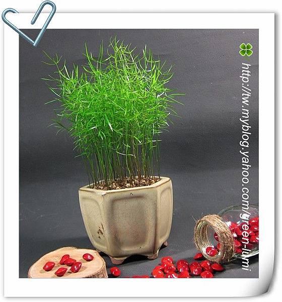 種子盆栽~武竹!