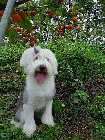 甜柿.jpg