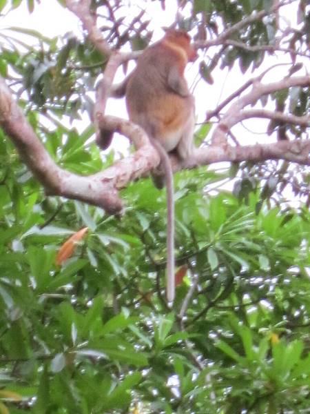 7.20-行程-婆羅洲森林生態探秘-長鼻猴-13.JPG