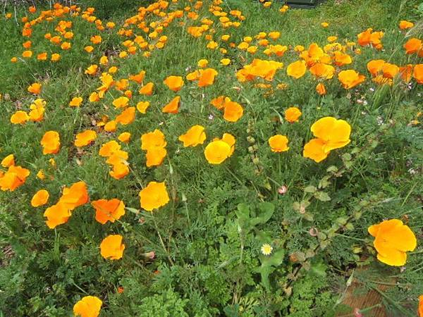3310加州州花Golden Poppy.JPG
