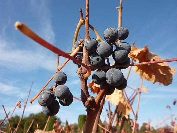 35 450 葡萄成熟時.JPG