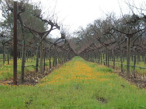 37 160 初春的葡萄園