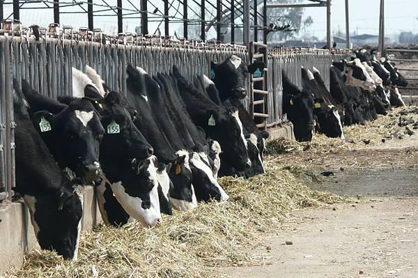 3811_Gallo cows