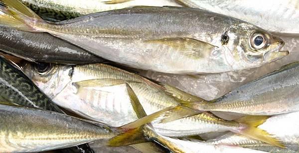 27004 450 竹筴魚.jpg