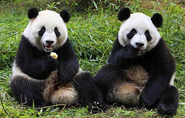 221 010 Giant Panda.jpg