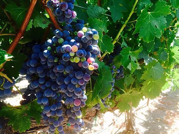 343 200 葡萄成熟時.jpg