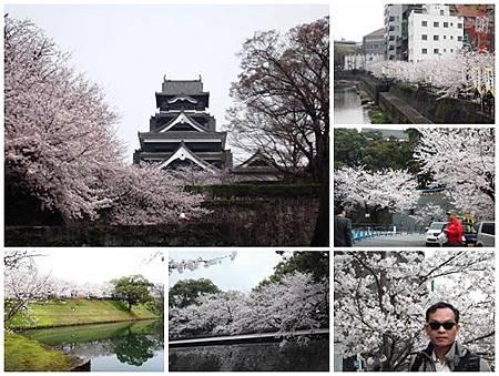 0323-熊本城櫻花A
