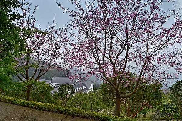 昭和櫻--15589.JPG
