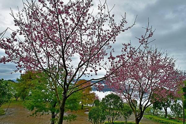 昭和櫻--15875.JPG