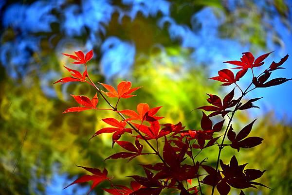 美樹楓葉--22072.JPG