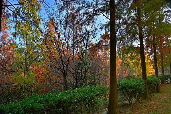 泰安水杉--22460.JPG