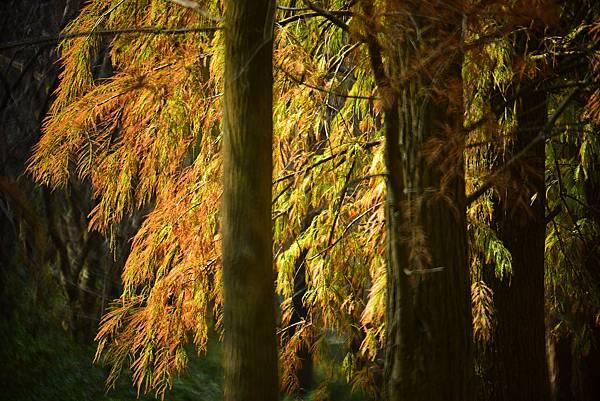 泰安水杉--22561.JPG