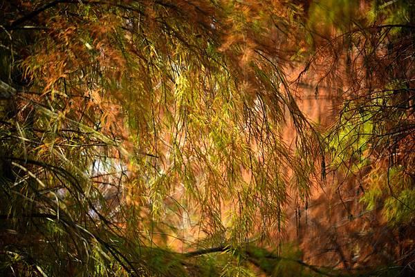 泰安水杉--22589.JPG