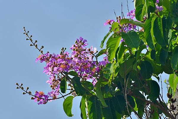 紫薇--35998.JPG