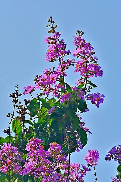 紫薇--35999.JPG