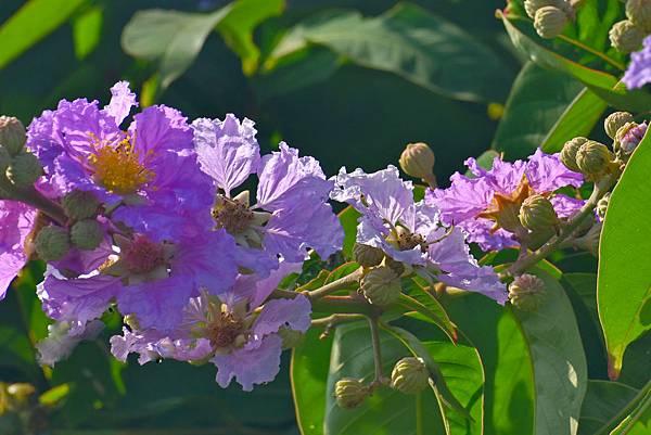 紫薇--36005.JPG