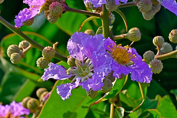 紫薇--36006.JPG