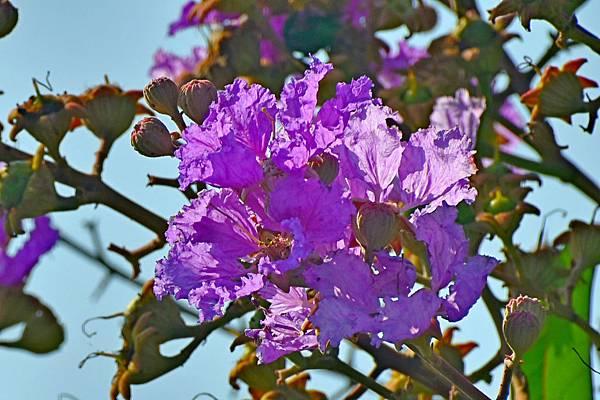 紫薇--36010.JPG
