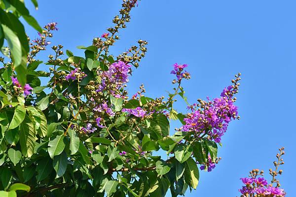 紫薇--36017.JPG