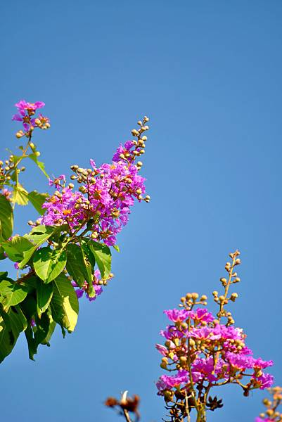 紫薇--36023.JPG