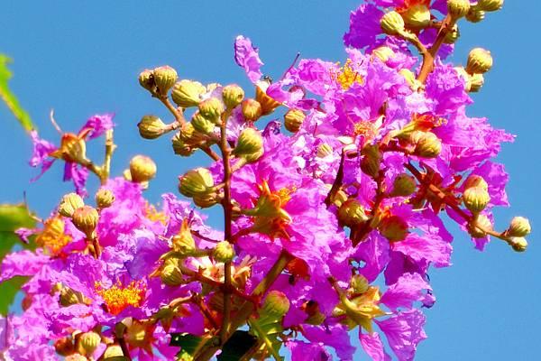紫薇--36023--01.JPG