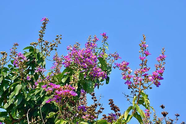 紫薇--36026.JPG
