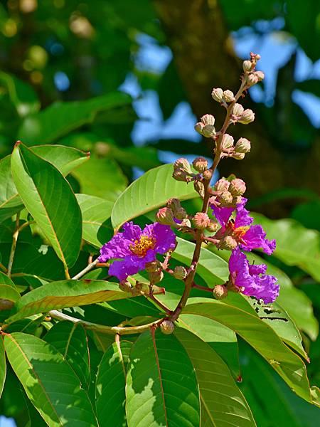 紫薇--36030.JPG