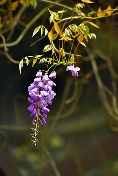紫藤--19226.JPG